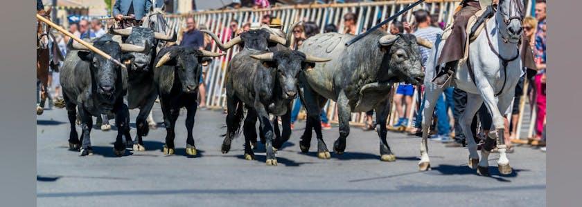 Taureaux dans la rue entourés de cavaliers